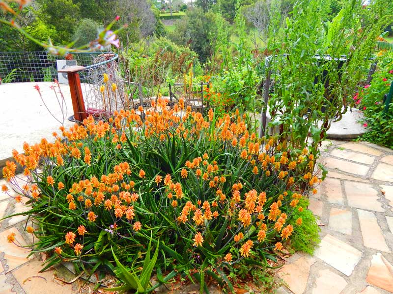 Aloes in Flower