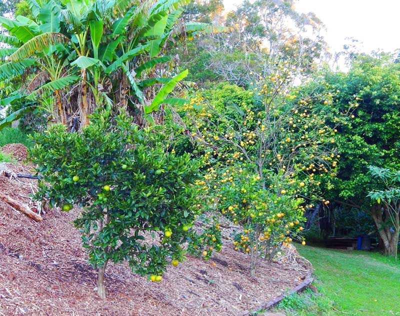 Citrus Trees below the Lady Finger banana clump