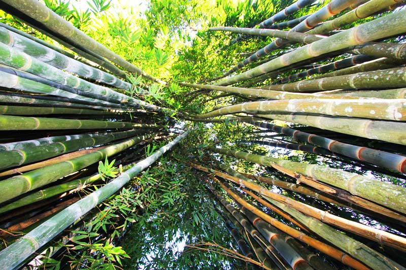 Looking up at the bamboo